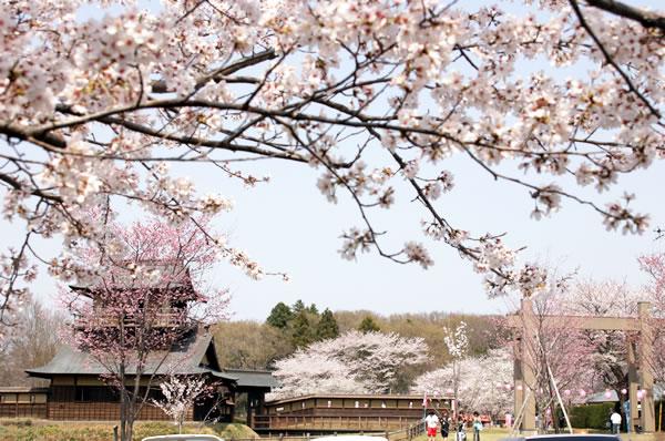 綺麗な桜の名所!坂東市の人気お花見スポット♪