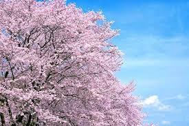 坂東で桜はいかがでしょうか!!